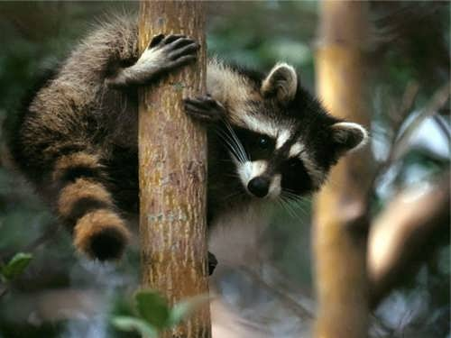 Stunning raccoon