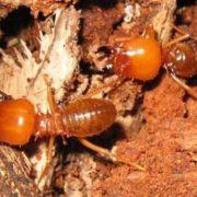 Stunning termite
