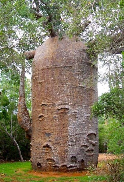 Teapot Baobab is the most famous tree of the island of Madagascar
