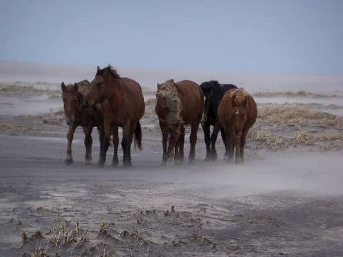 Three hundred wild ponies live on the island