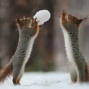 Two squrrels are playing snowballs