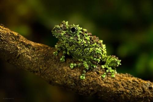 Vietnamese swamp frog