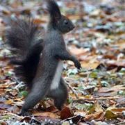 Walking squirrel