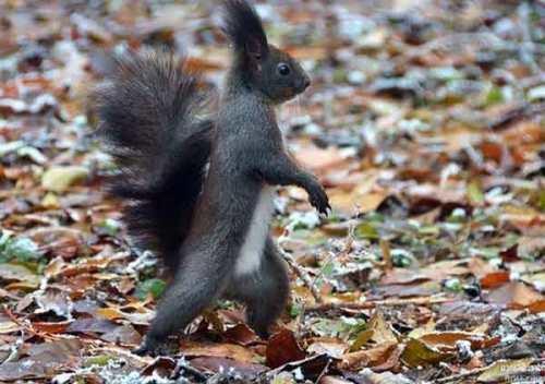 Walking squirrel
