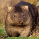 Wombat – bear-like marsupial