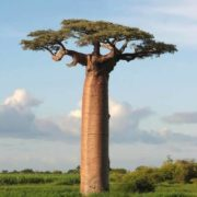 Wonderful baobab