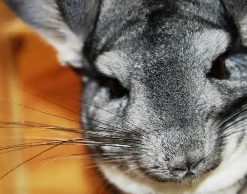 Wonderful chinchilla