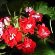 Wonderful geranium