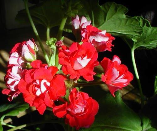 Wonderful geranium