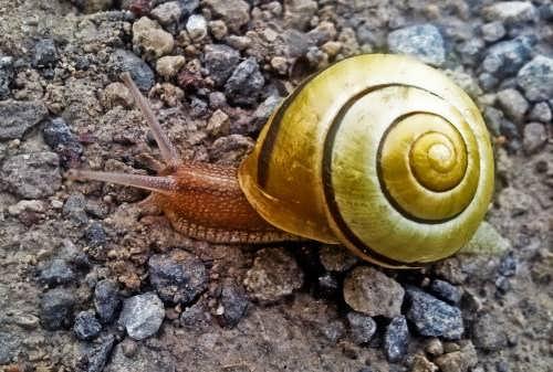 Wonderful snail