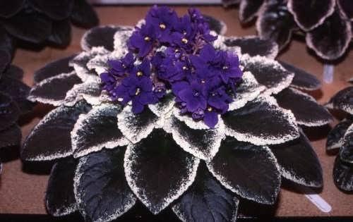 Wonderful violets