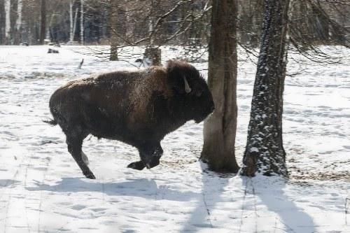 Amazing bison
