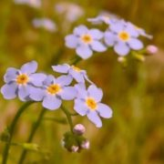 Amazing forget-me-nots