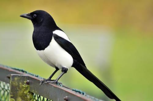 Amazing magpie
