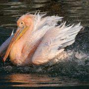 Amazing pelican