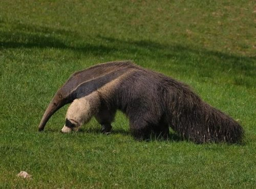 Anteater – curious-looking animal