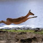 Antelope – graceful animal