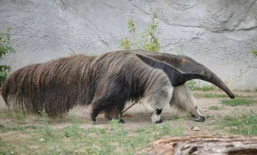 Attractive anteater