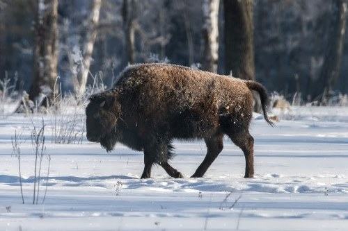 Attractive bison