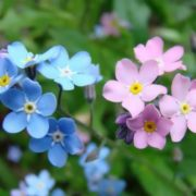 Attractive forget-me-nots
