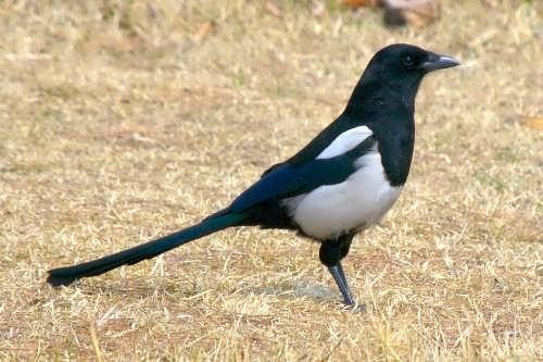 Attractive magpie