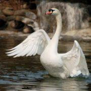 Attractive swan