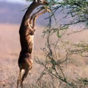 Awesome antelope