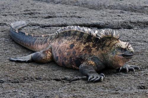 Awesome iguana