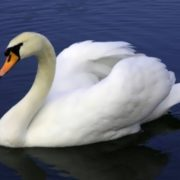 Awesome swan