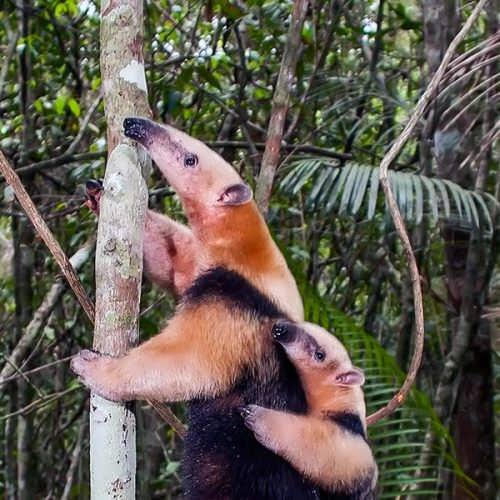 Beautiful anteaters