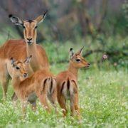 Beautiful antelopes