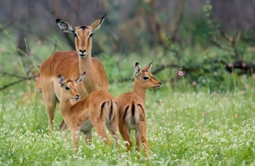 Beautiful antelopes