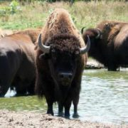 Beautiful bison