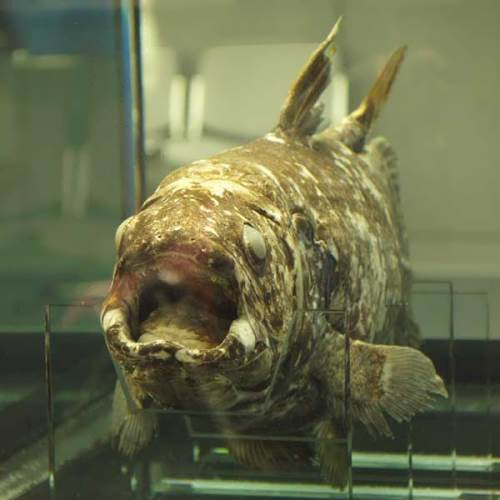 Beautiful coelacanth