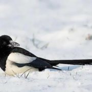 Beautiful magpie