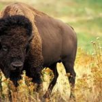 Bison – Majestic Beast