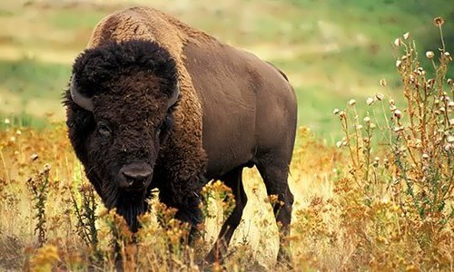 Bison - Majestic Beast