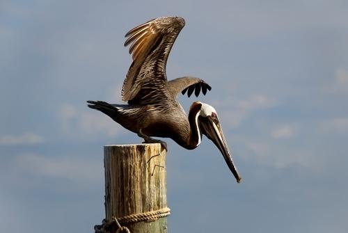 Brown Pelican. Andrea Westmoreland
