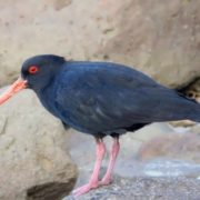 Canarian Oystercatcher died out in 1994