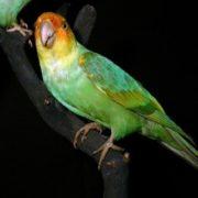 Carolina parakeet died out in 1926