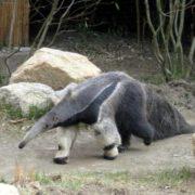 Charming anteater