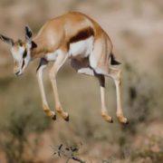 Charming antelope