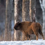 Charming bison