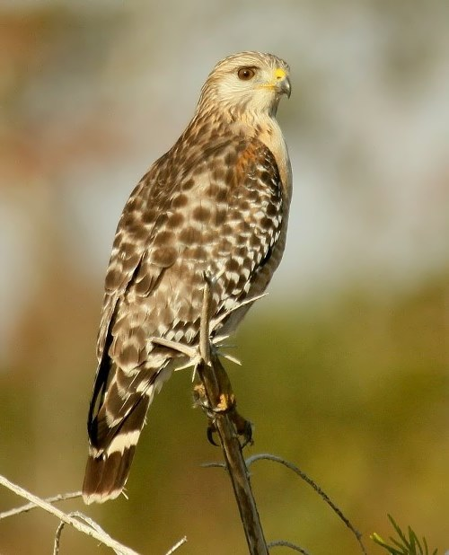 Charming falcon