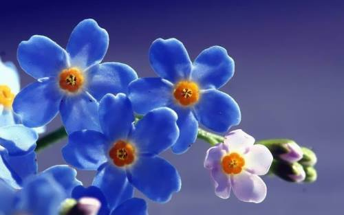 Charming forget-me-nots
