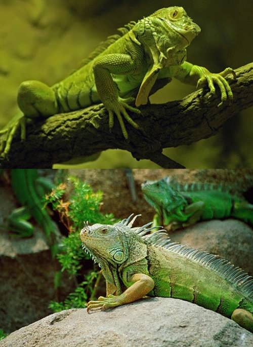 Charming iguana