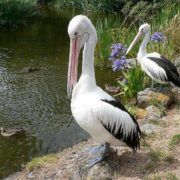 Charming pelicans