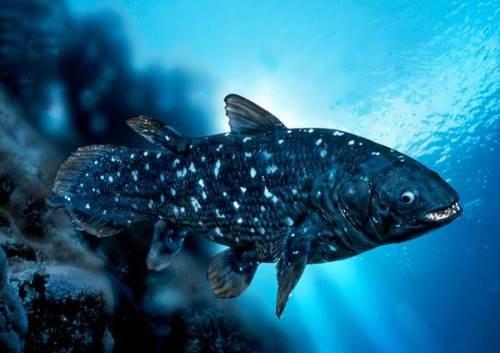Coelacanth - Latimeria chalumnae