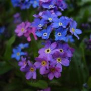 Colorful forget-me-nots