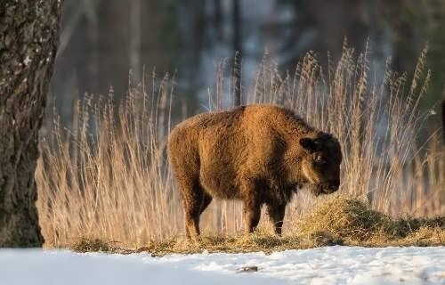 Cute bison